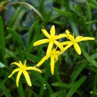 Water-Stargrass
