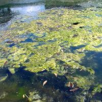 filamentous-algae