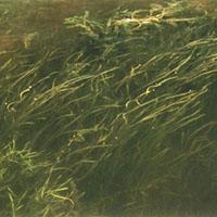 wild-celery