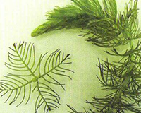 northern-water-milfoil-id
