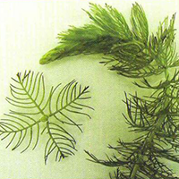 northern water milfoil id